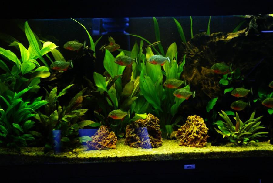Zestaw RIO 240 JUWEL z aranżacja skalno-roślinną oraz Piraniami